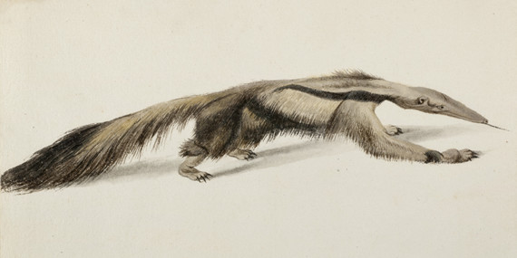 Giant anteater by Frans Post